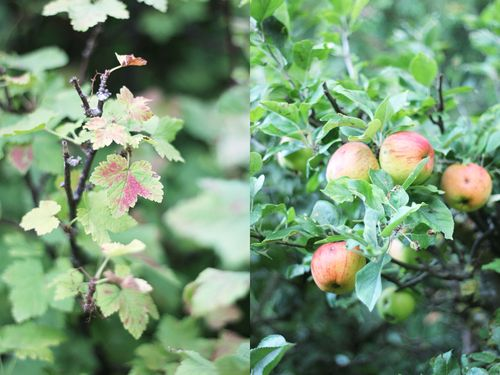 Currant_leaves_and_apples